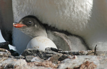 Gentoo penguin chick 32