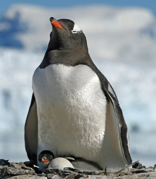 Gentoo penguin and chick 5