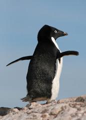 Adelie Penguin 27
