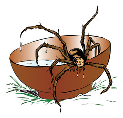 Wet spider coming out of a bowl