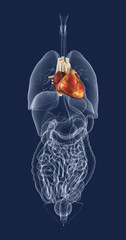 Heart in Relation to Other Organs