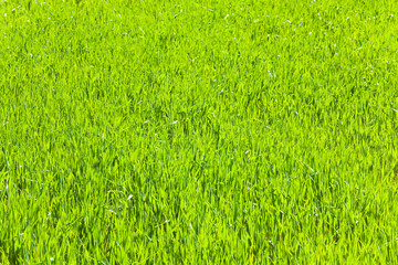 spring green grass (nature background)