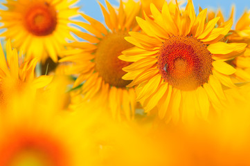 sunflower field .