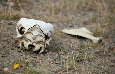 Guanaco skull in Torres del Paine national park, Chile, South Am