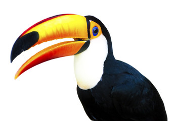Foto op Plexiglas Toekan Beautiful Toucan