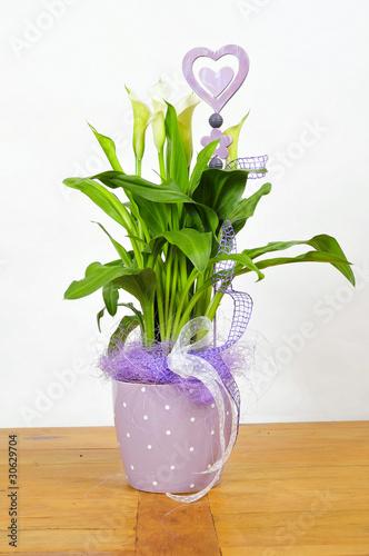 calla bl te blumentopf lila zimmerpflanze stockfotos und. Black Bedroom Furniture Sets. Home Design Ideas