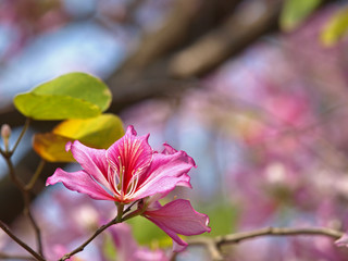Closeup Picture of Orchid Tree(Bauhinia Variegata)