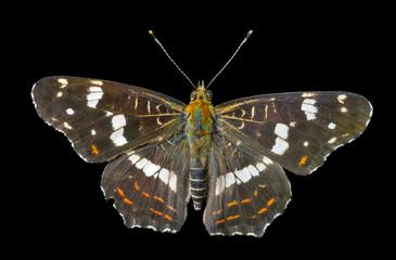 Butterfly (Araschnia burejana) 1