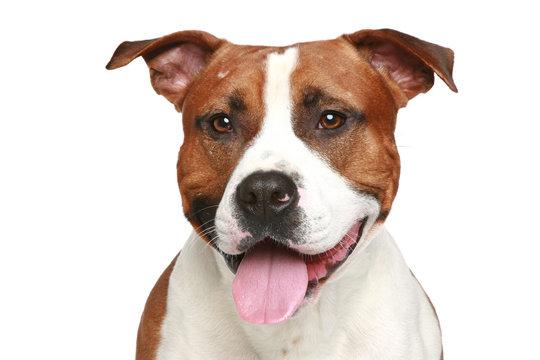 Staffordshire terrier. Close-up portrait
