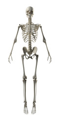 Full Frontal Skeleton islolated
