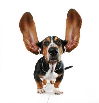 basset hound  listening to music