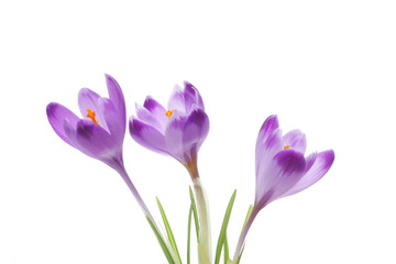 Photo sur Plexiglas Crocus Purple crocus flowers