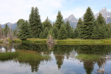 Evergreen Trees Reflecting in a Body of Water