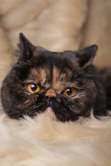 Persian cat in turtle colors on beige background