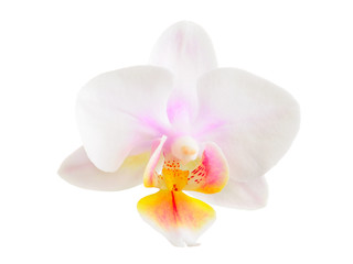 Wall Mural - Orchid