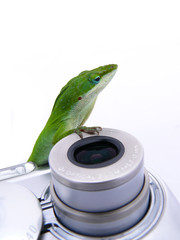 lizard on camera