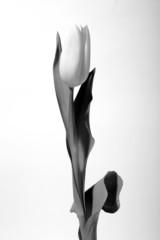 tulip bw