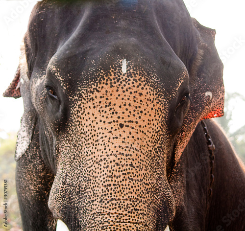 """Indian Elephant a front view"" Stock photo and royalty ..."