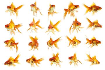 Bilder und videos suchen schleierschwanz for Goldorfen zucht