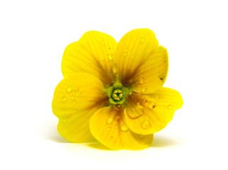 primevère jaune