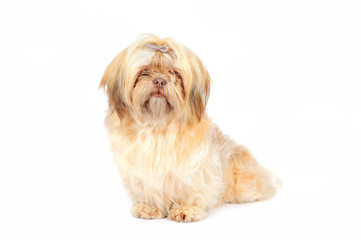 Shih Tzu in studio on front of white background