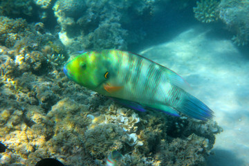 parrot fish under water