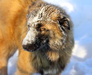 Caucasian Shepherd dog in snow