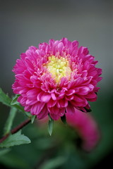 Isolated  Pink Chinese Aster