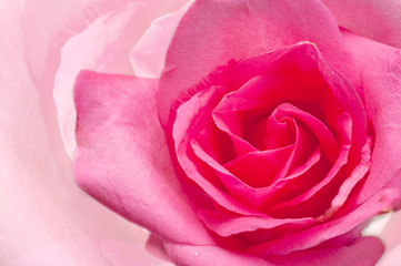 Macro image of  pring rose w Extreme close-up with shallow dof.