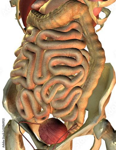 gesunde innere Organe vom Mann\