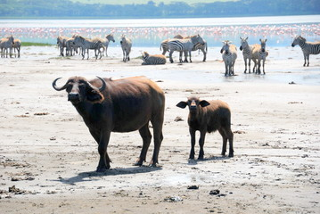 Buffalo lake Nakuru