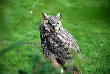 Photo Blinds Owl American oehoe owl