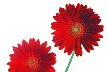 Foto op Canvas Gerbera Two reds gerber