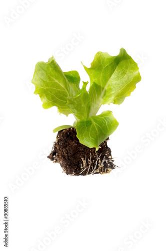 jeune plant de salade photo libre de droits sur la banque d 39 images image 30885510. Black Bedroom Furniture Sets. Home Design Ideas