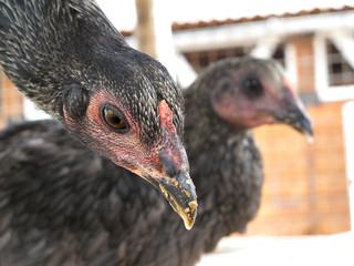 black chicken in a poultry farm
