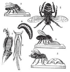 Worker bee transformation vintage engraved illustration
