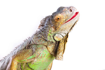 Wall Mural - Smiling iguana on isolated white