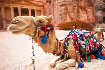 Bedouin camel rests near the Al Khazneh at Petra,  Jordan