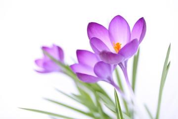 Fotobehang Krokussen Zarte Frühlingsblumen auf weißem Hintergrund