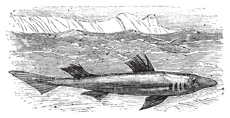 Spiny dogfish, spurdog, mud shark, piked dogfish or Squallus aca