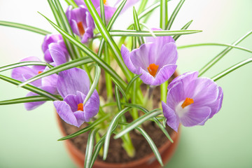 crocus flower in pot