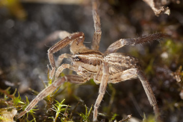Young Wolf spider on ground, extreme close up