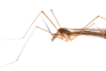 insect crane fly daddy longlegs
