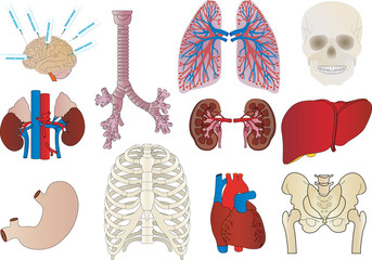 Vector a set of an internal of the person of a kidney, a liver,