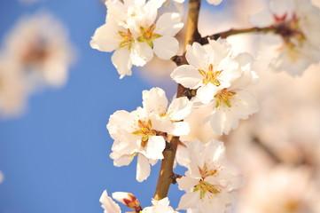 Frühling in der Apfelplantage