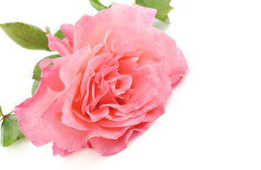 Pink Rose With White Background
