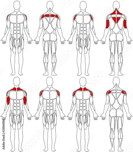 "human body"" stock image and royalty-free vector files on fotolia, Muscles"