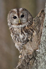 Fototapete - Tawny Owl in hollow tree with brown background