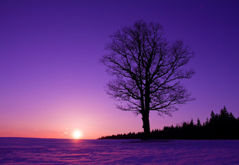Poster Violet lonely tree at sunset