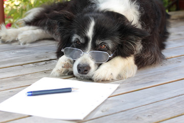 Elderly Retired Border Collie Dog Thinking About Writing a Novel